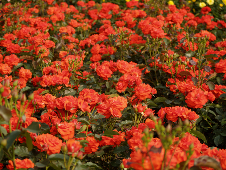 ragsac: Field of red Roses