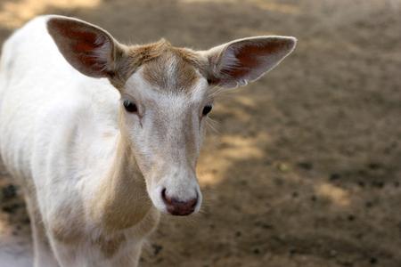 ragsac: Deer