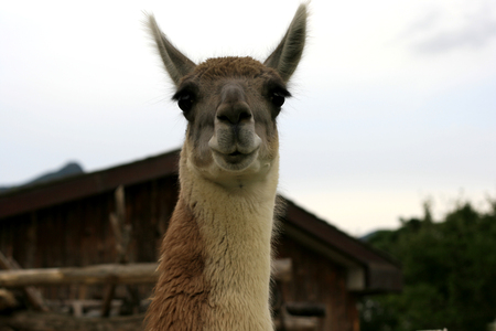ragsac: Lama Guanako