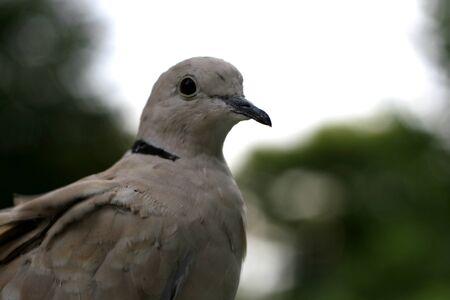 ragsac: pigeon-2