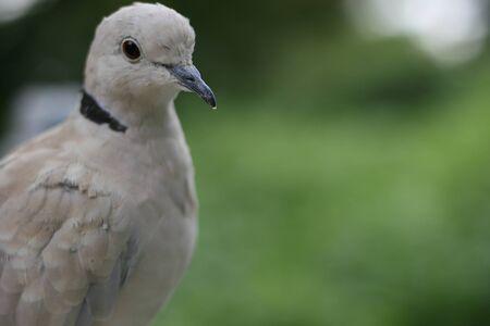 ragsac: pigeon