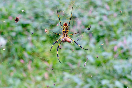 ragsac:  Spider with yellow web