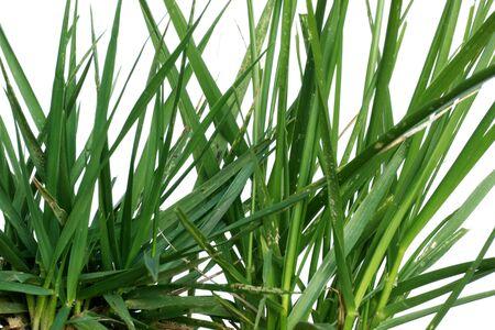 ragsac: Green Grass