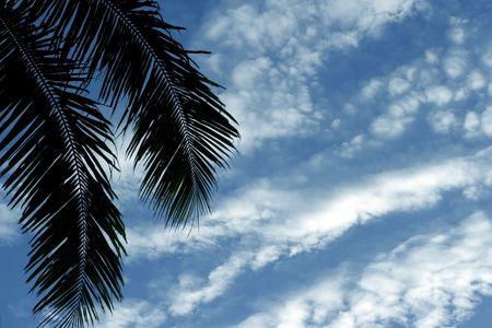 palm frond: Frond palma di cocco