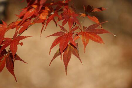 maple leaf during autumn  photo