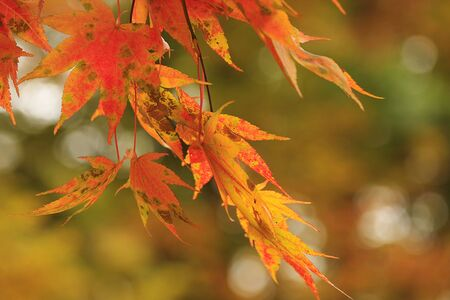 red japanese maple in october autumn month photo
