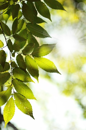Sun beams and green leaves during spring photo