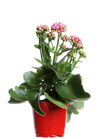 blooming plant with pink flowers in plastic pot isolated Stock Photo - 8827354