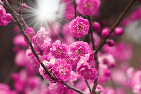richly blossoming cherry tree garden at sunset  photo