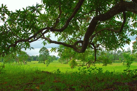 mango tree: Fresh green leaves  of mango tree bright background