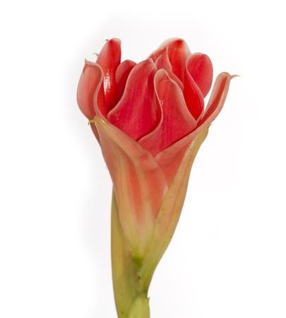 ginger flower plant: Red flower of etlingera elatior isolated in white background