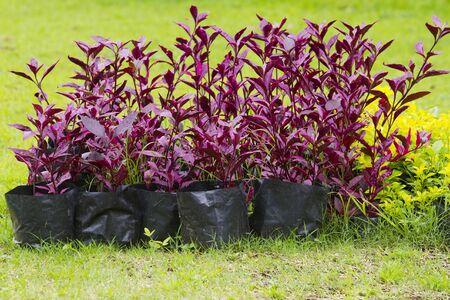 begonia: Many black plastic bag with plant seedlings.  Stock Photo