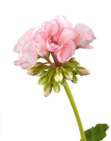 geranium color: perhaps the most popular flower is the geranium house (pelargonium). it performs the role of a room doctors in diseases of the nervous system, especially in its functional disorders, neuroses of various etiologies, with insomnia. the main active component Stock Photo