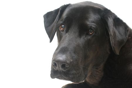 Black Labrador Retriever Looking Sad photo