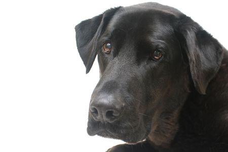 shiny black: Black Labrador Retriever Looking Sad