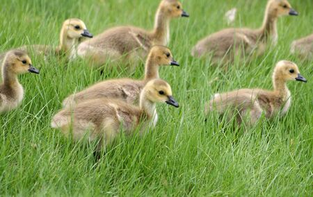 canada goose: A gaggle of Canada Geese goslings walking through a field of grass Stock Photo