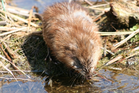 A brown muskrat standing on a mud flat in a marsh drinking water in spring in Winnipeg, Manitoba, Canada