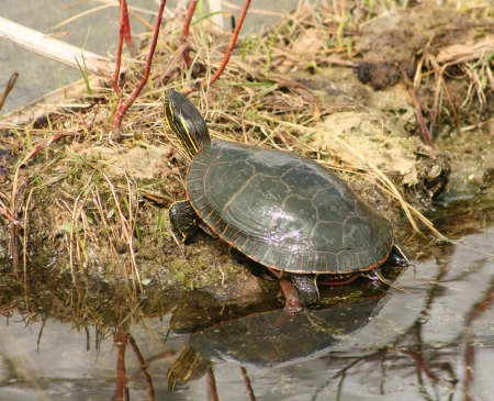 A Western Painted Turtle reflected in the water while sitting on a mud flat in spring in Winnipeg, Manitoba, Canada