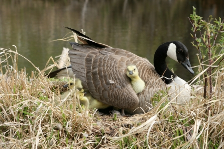 lake winnipeg: An adult female Canada Goose sitting on her nest with a gosling nestled under her wing in spring in Winnipeg, Manitoba, Canada Stock Photo