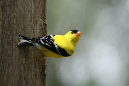 A male American Goldfinch perched on a piece of wood in Winnipeg, Manitoba, Canada 免版税图像