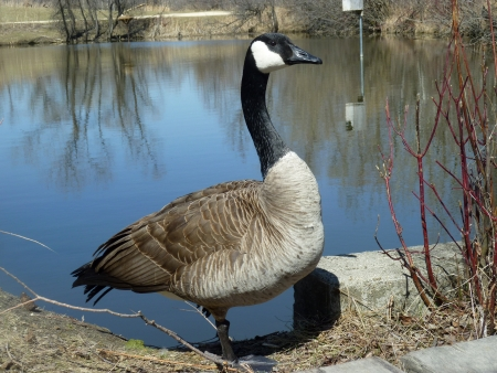lake winnipeg: An adult Canada Goose standing on a path beside a lake in spring in Winnipeg, Manitoba, Canada Stock Photo