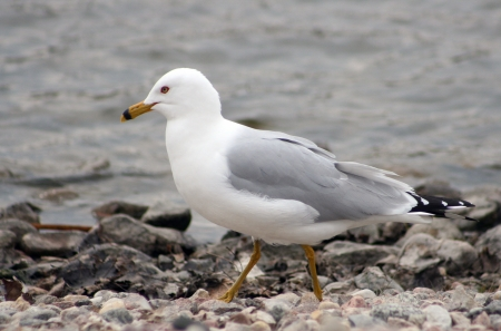 lake winnipeg: A large Herring Gull walking along the rocky shore of a lake in spring in Winnipeg, Manitoba, Canada Stock Photo