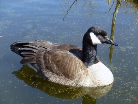 lake winnipeg: An adult Canada Goose swimming in a marsh in spring in Winnipeg, Manitoba, Canada