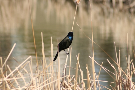 lake winnipeg: A black Common Grackle perched on marsh grass in spring in Winnipeg, Manitoba, Canada
