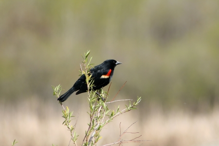 lake winnipeg: A male Red Winged Black Bird perched on marsh plants in spring in Winnipeg, Manitoba, Canada
