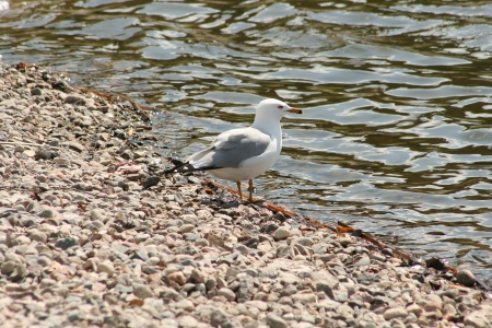 lake winnipeg: A grey and white Herring Gull on the rocky shore of a lake in spring in Winnipeg, Manitoba, Canada