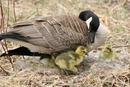 lake winnipeg: A female Canada Goose with goslings in a nest in spring in Winnipeg, Manitoba, Canada