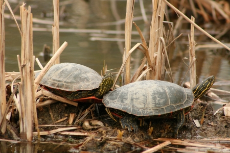lake winnipeg: A pair of Western Painted Turtles on a mud flat in a marsh sunning themselves in spring in Winnipeg, Manitoba, Canada Stock Photo
