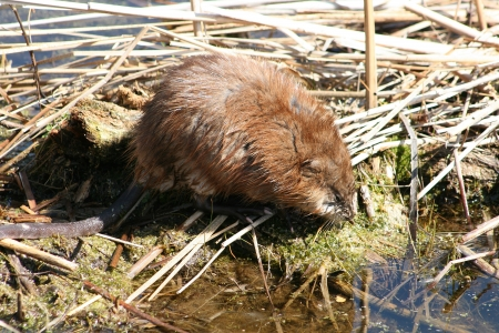 muskrat: A large brown muskrat on reeds and mud in a marsh in spring in Winnipeg, Manitoba, Canada