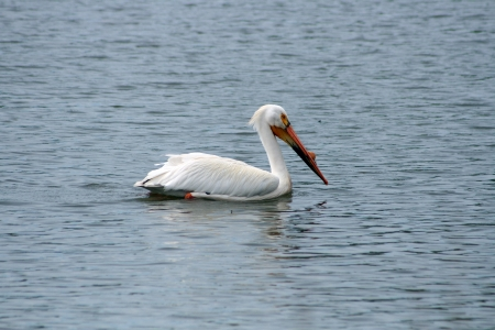 lake winnipeg: An American White Pelican swimming in a lake in spring in Winnipeg, Manitoba, Canada