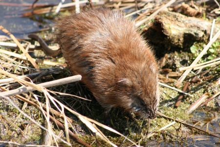 A brown muskrat crossing a reed covered mud flat in a marsh in spring in Winnipeg, Manitoba, Canada