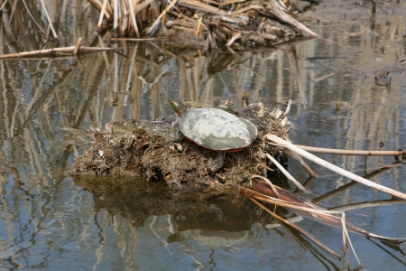 A Western Painted Turtle sunning itself on a mud flat in spring in a marsh in Winnipeg, Manitoba, Canada Stock Photo