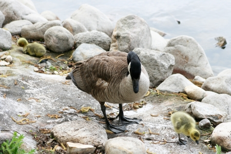 lake winnipeg: An adult Canada Goose and a recently hatched gosling on the shore of a lake in spring in Winnipeg, Manitoba, Canada Stock Photo