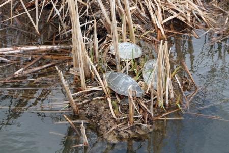 Three Western Painted Turtles on a mud flat in a marsh in spring in Winnipeg, Manitoba, Canada