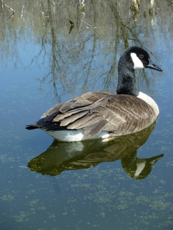 lake winnipeg: An adult Canada Goose is reflected in the water while swimming on a calm lake in spring in Winnipeg, Manitoba, Canada