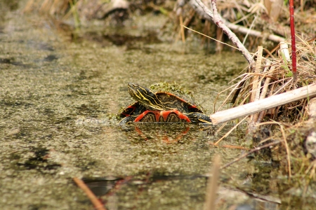 lake winnipeg: An algae covered Western Painted Turtle surfacing in a marsh in spring in Winnipeg, Manitoba, Canada