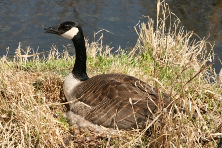 A female Canada Goose incubating a nest of eggs in spring in Winnipeg, Manitoba, Canada photo