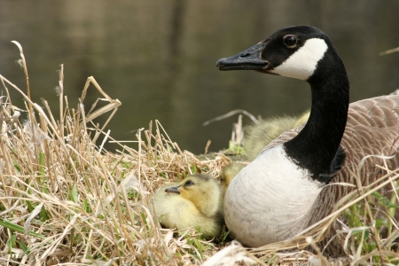 lake winnipeg: A female Canada Goose and one gosling on a nest beside a lake in spring in Winnipeg, Manitoba, Canada Stock Photo