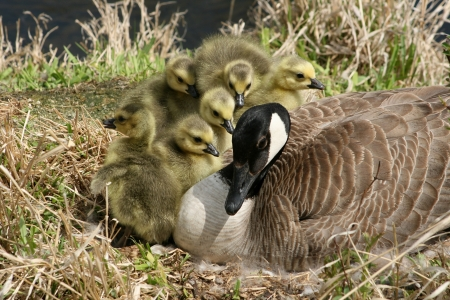 lake winnipeg: A female Canada Goose with six goslings on a nest beside a lake in spring in Winnipeg, Manitoba, Canada