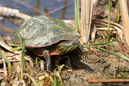 lake winnipeg: A Western Painted Turtle standing on a mud bank of a marsh in spring in Winnipeg, Manitoba, Canada Stock Photo