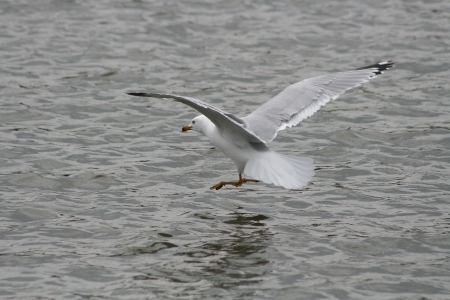 lake winnipeg: A Herring Gull landing on a lake in spring in Winnipeg, Manitoba, Canada