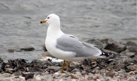 lake winnipeg: A Herring Gull gazing over the water from a rocky beach in spring in Winnipeg, Manitoba, Canada