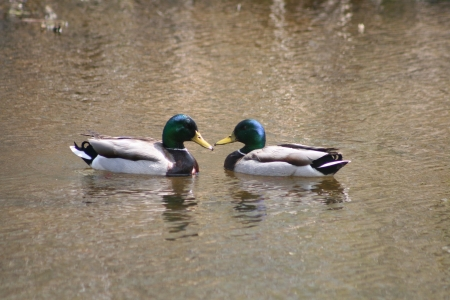 lake winnipeg: A pair of Mallard Ducks swimming in a lake in spring in Winnipeg, Manitoba, Canada