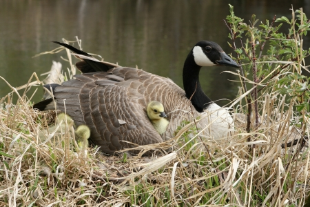 lake winnipeg: A female Canada Goose with a gosling nestled under her wing in spring in Winnipeg, Manitoba, Canada