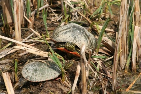 lake winnipeg: A pair of Western Painted Turtles warming under the spring sun in Winnipeg, Manitoba, Canada