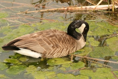lake winnipeg: An adult Canada goose swimming in a marsh and feeding on algae in spring in Winnipeg, Manitoba, Canada Stock Photo